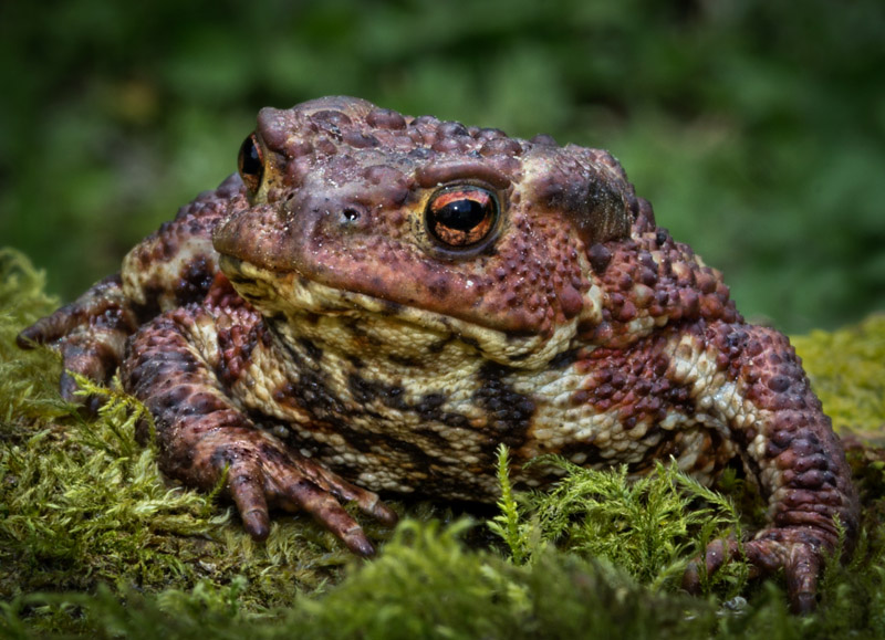 Common Toad by Frances Underwood (LRPS Panel)