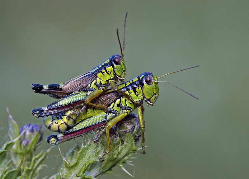 Crickets mating by Mary Cantrille