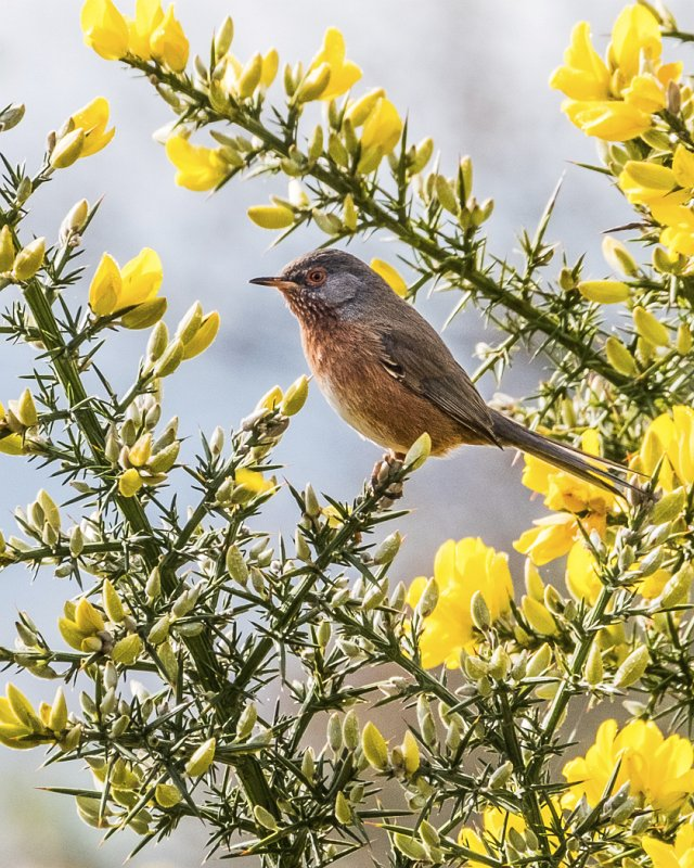 Dartford Warbler, Arne by Jeremy Lee-Potter
