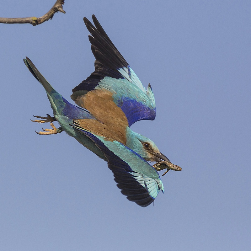 European Roller in Flight with Lizard by Susan Buckland