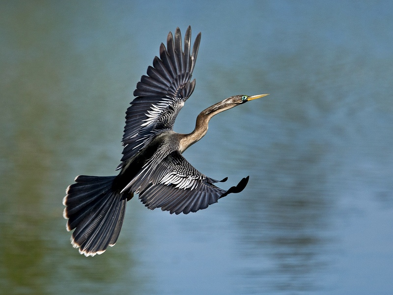 Female Anhinga by Mary Cantrille
