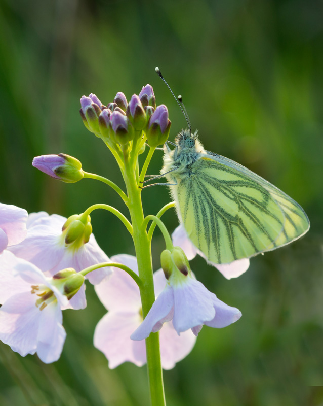 Green Veined White on Ladysmock by Frances Underwood (LRPS Panel)