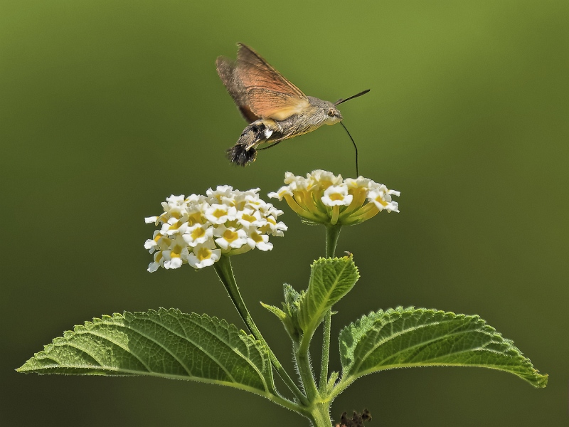 Hummingbird Hawkmoth by Iain Cameron