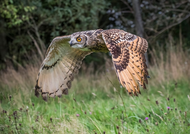 Hunting Indian Eagle Owl by Ivor Toms - HC Section A