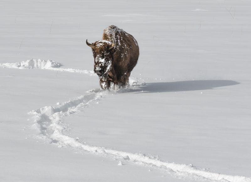 Bison Tracks by Jane Lee