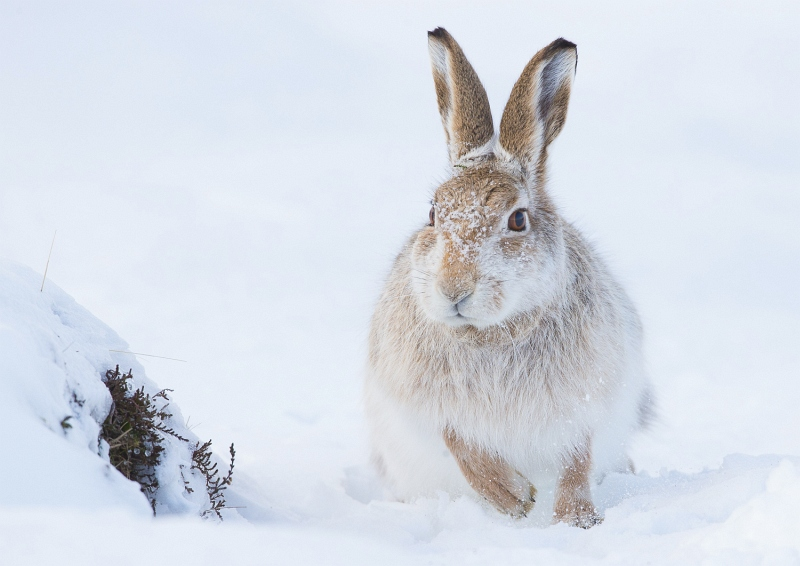 Mountain Hare Foraging for Food by Iain Friend