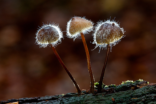 Mycena Backlit by David Cantrille