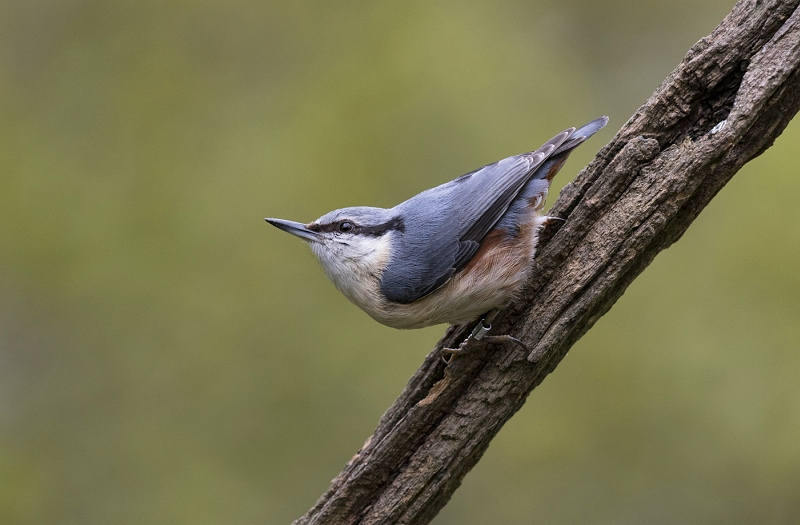 Nuthatch by Jane Lee