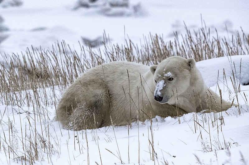 Polar Bear Waiting in the Snow by Jane Lee