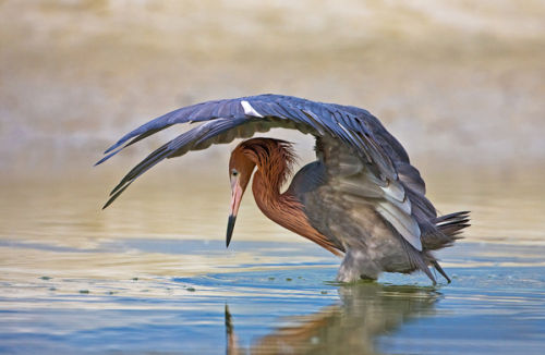 Reddish Egret Shielding Light by David Cantrille
