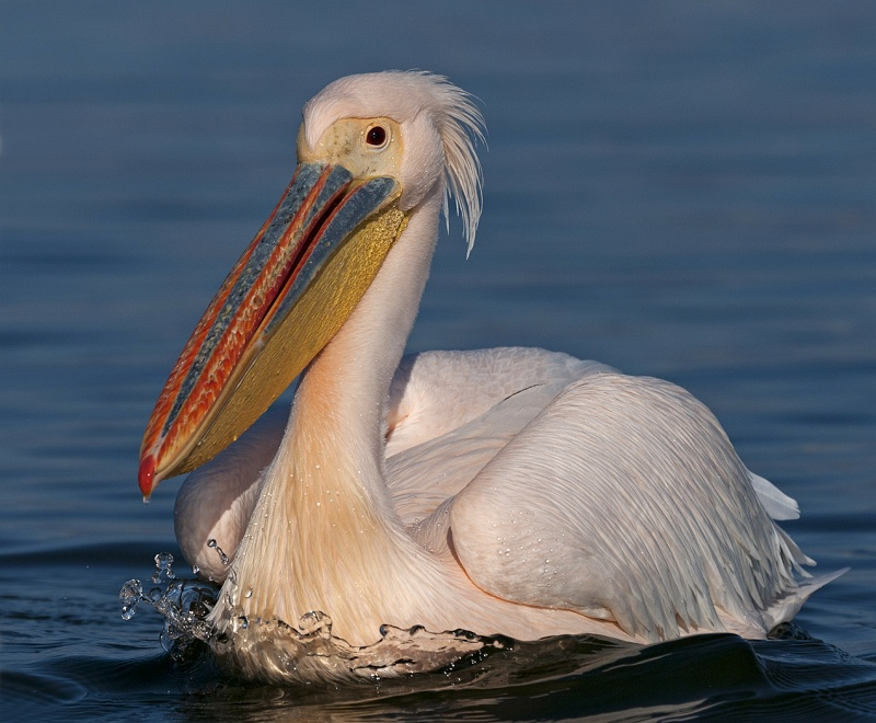 Rosy Pelican by Mary Cantrille