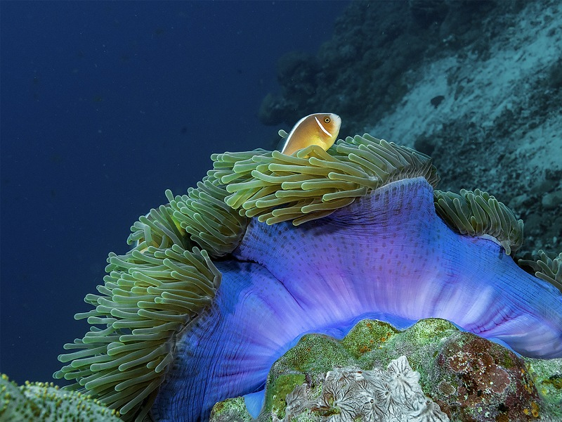 Single Pink Anemone Fish by Spike Piddock