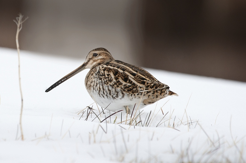 Snipe by Di Tilsley