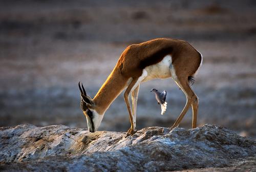 Springbok with Cape Dove by David Cantrille