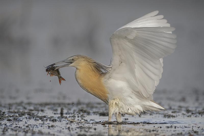 Squacco Heron with Fish by Tim Downton