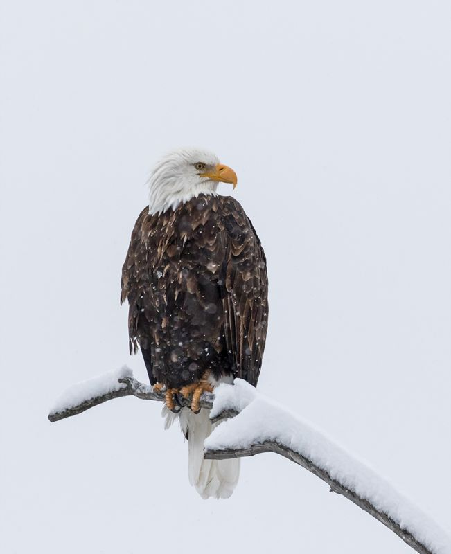 Bald Eagle in the Snow Yellowstone by Stephen Lee