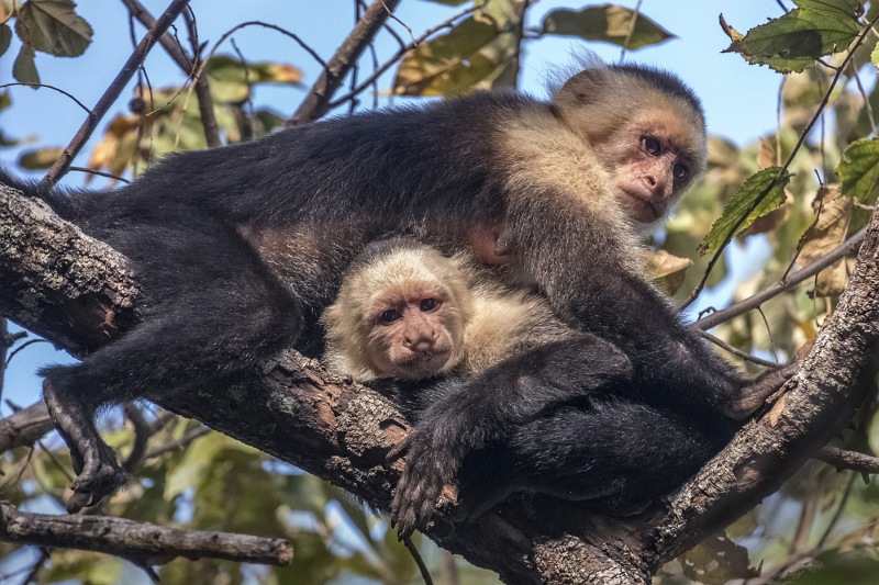 Costa Rica White Face Monkeys by Ivor Toms