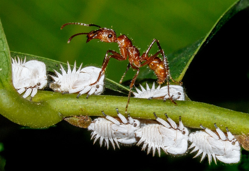 Wood Ant harvesting honeydew by Frank Schweitzer