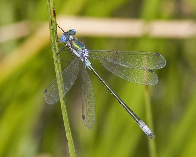 Lestes dryas (male) - Scarce Emerald Damselfly