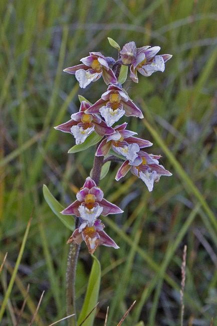 Marsh Helleborine - Epipactis Palustris