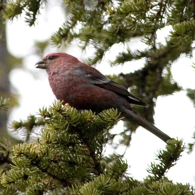Pine Grossbeak (male)