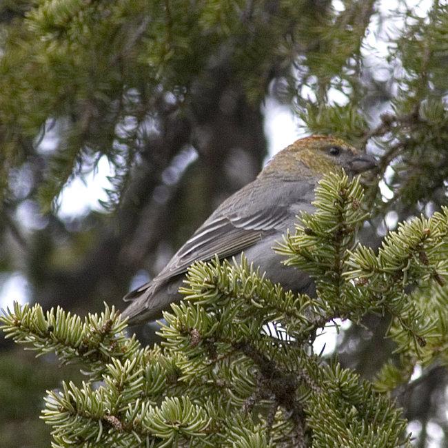 Pine Grossbeak (female)