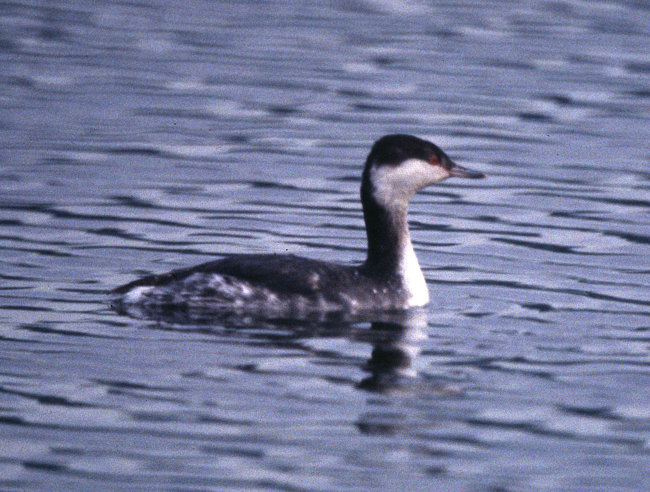 Slavonian Grebe (winter)