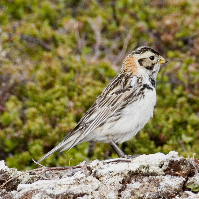 Lapland Bunting (female)