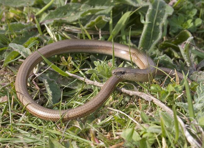 Slow Worm