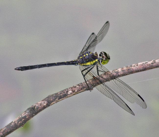 Agrionopter longitudinalis biserialis