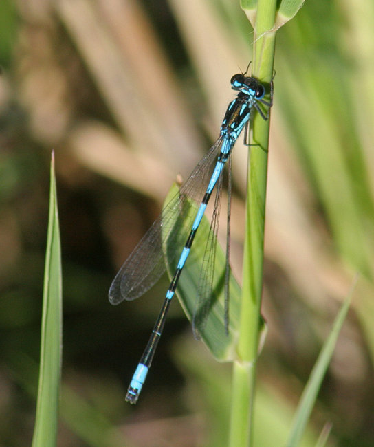Coenagrion pulchellum  (male) - Variable Damselfly