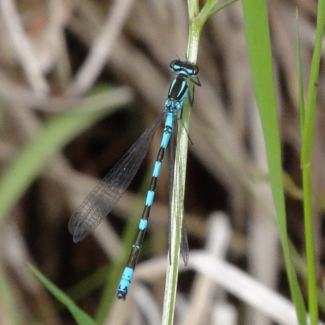 Coenagrion hastulatum (Northern Damselfly)