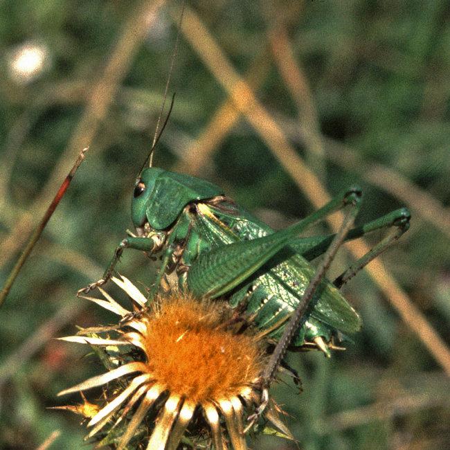 Wartbiter Bush Cricket