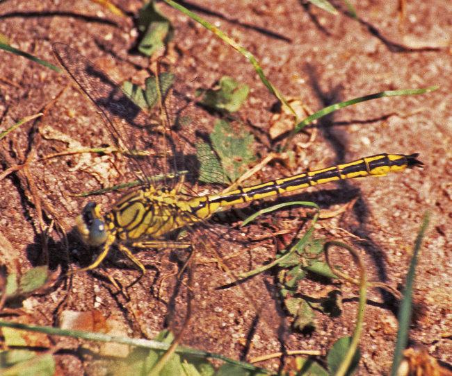 Gomphus pulchellus - Western Clubtail