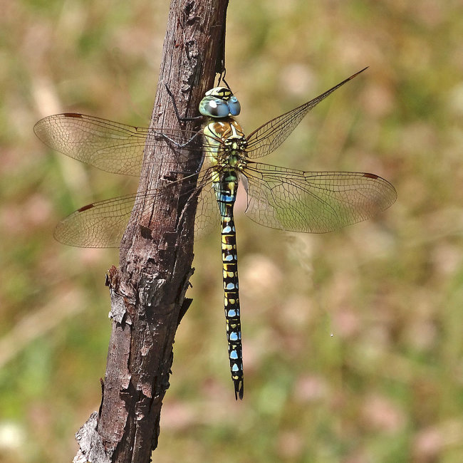 Aeshna affinis (Southern Migrant Hawker)