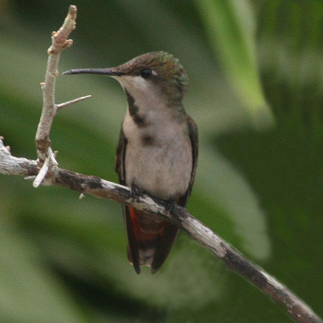 Ruby Topaz Hummingbird  female