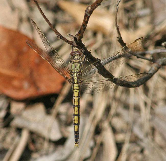Orthetrum caledonicum female