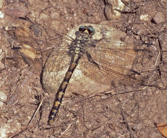 Onychogomphus uncatus - Blue-eyed Hooktail (female)