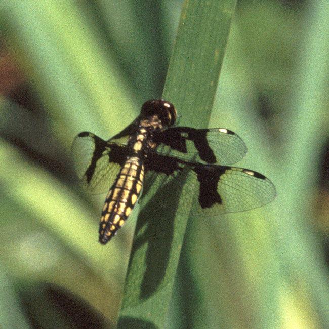 Palpopleura portia - Portia Widow female