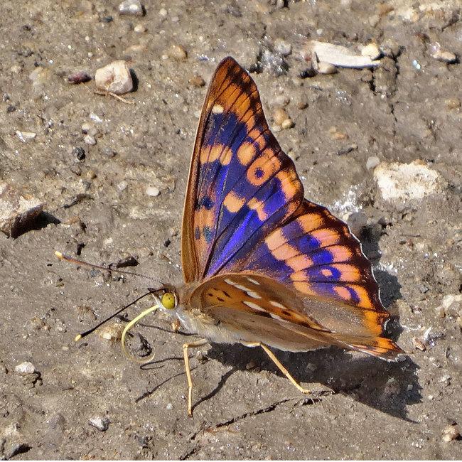 Freyer's Purple Emperor