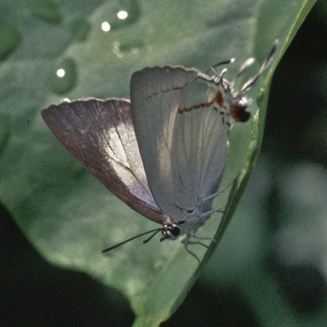 Hypolycaena Antifaunus