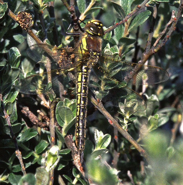Brachytron pratense  (female) - Hairy Dragonfly