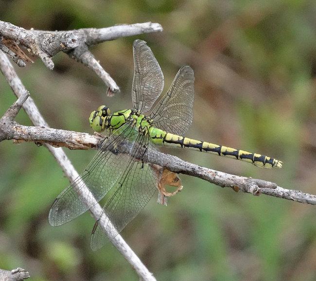 Ophiogomphus cecilia (Green Snaketail)