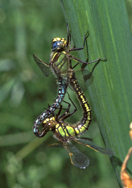 Brachytron pratense  (wheel) - Hairy Dragonfly