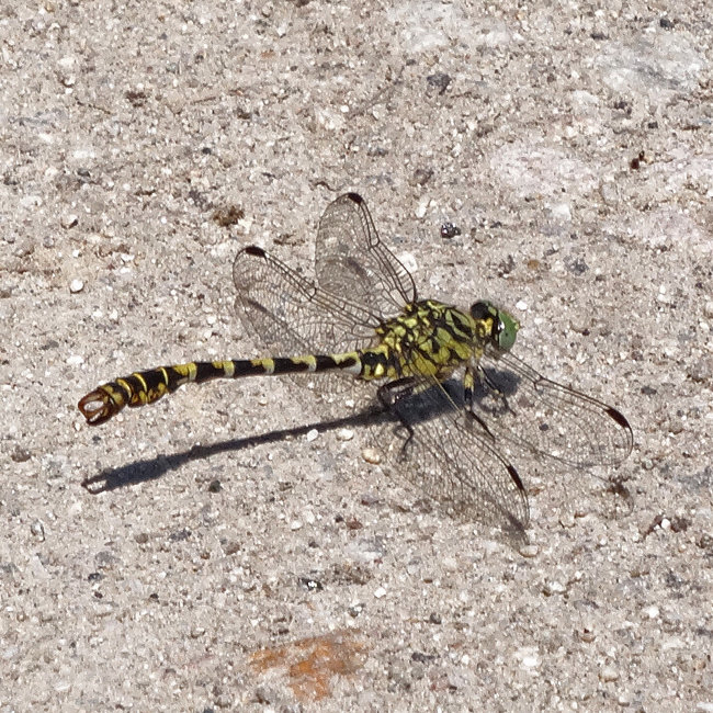 Onychogomphus forcipatus - Male (Green-eyed Hooktail)