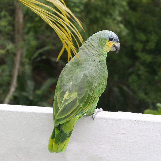 Orange Winged Parrot