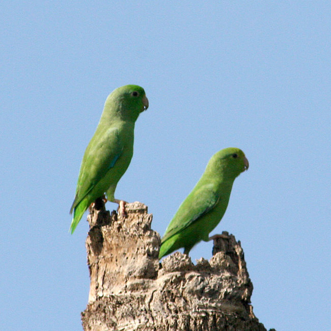 Green Rumped Parrotlet
