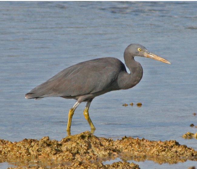 Eastern Reef Egret (dark form)