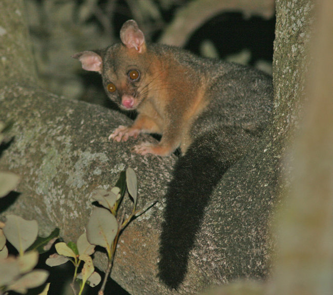 Bush-taile Possum