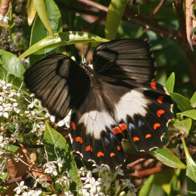 Papilio aegeus - Orchard Swallowtail
